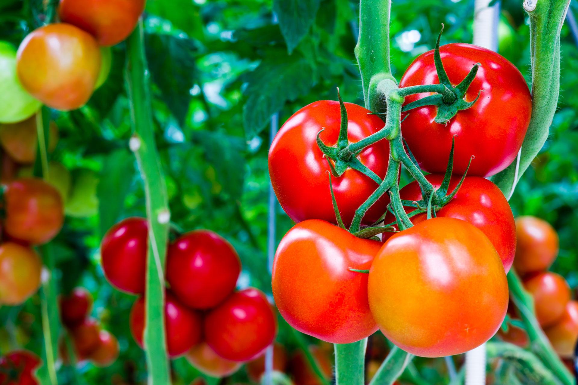slide-tomaten